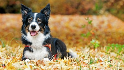 border collie dog in long grass