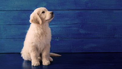 Puppy on blue background