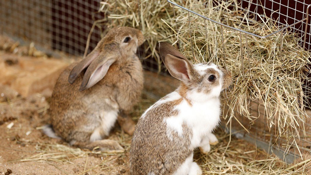 two rabbits eating hay (1)