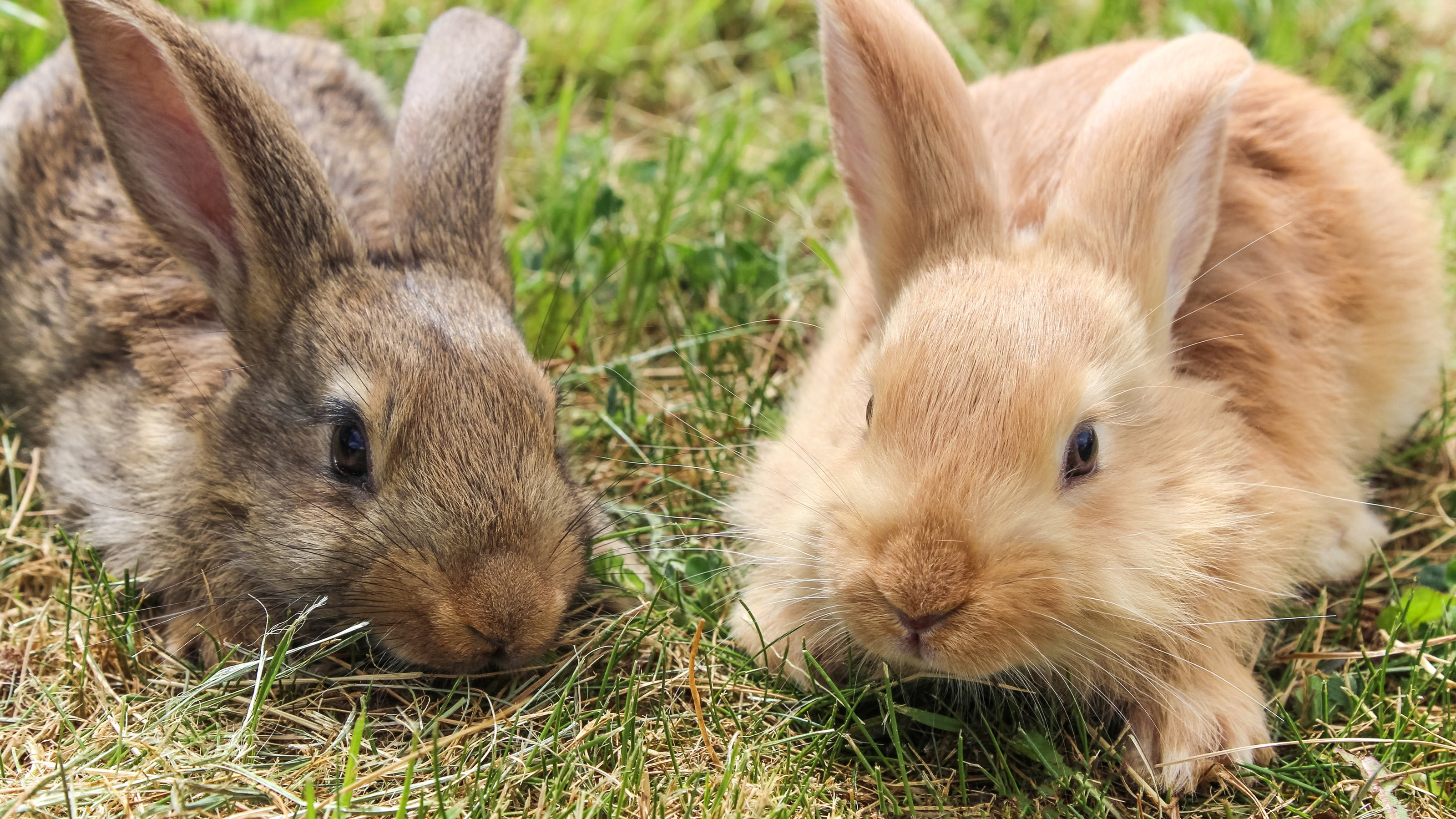 Fleas And Your Rabbit Companion Care